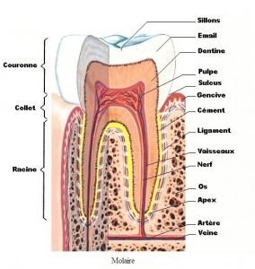 Le collet de la dent est la zone intermédiaire entre la couronne et la racine.