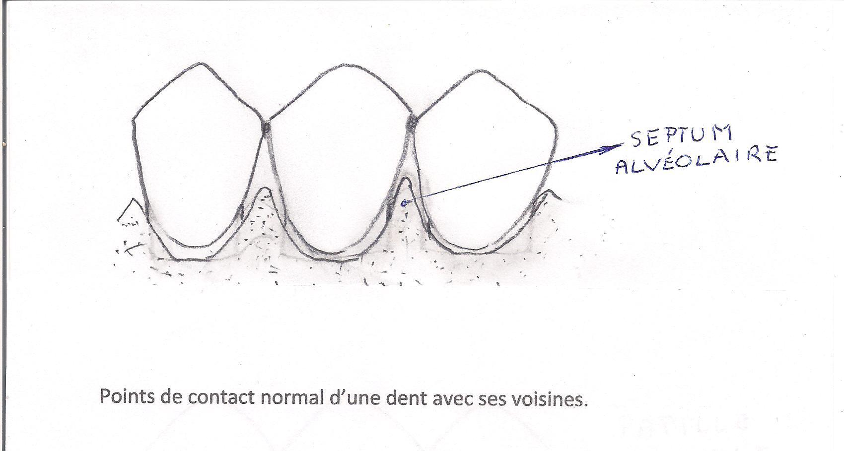 Point de contact et septum alvéolaire.