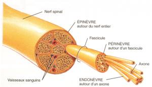 Coupe d'un nerf rachidien (thèses.ulaval.ca)