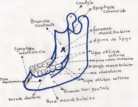 Anatomie d'os mandibulaire