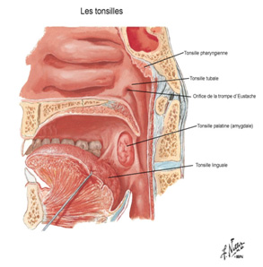 anatomie-amygdales