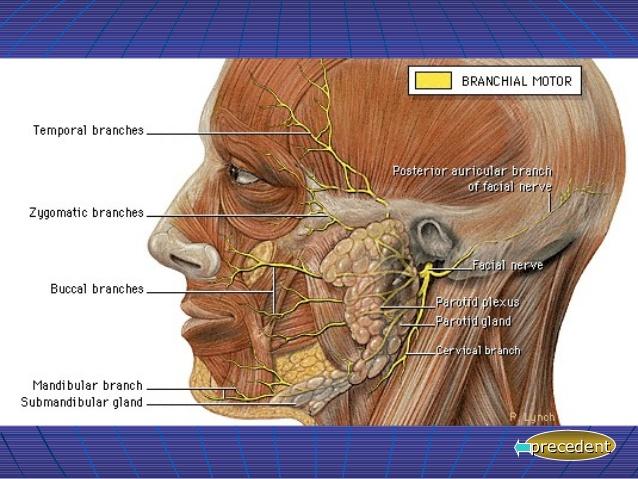 Les 4 branches du facial(facial.fr.slideshare.net)